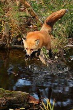 Beautiful fox by the water.