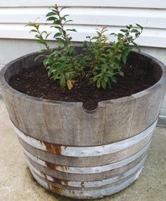 a small blueberry bush potted in a barrel