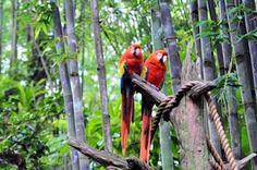 Scarlet Macaws at Dusney's Animal Kingdom