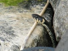 Käärmeen kurkistus Snake, Animals, Animales, Animaux, A Snake, Animal, Animais, Snakes
