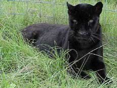 Black Jaguar. In jaguars, the mutation is dominant hence black jaguars can produce both black and spotted cubs, but spotted jaguars only produce spotted cubs when bred together. In leopards, the mutation is recessive and some spotted leopards can produce black cubs (if both parents carry the gene in hidden form) while black leopards always breed true when mated together.