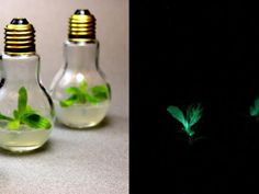 Developed by molecular biologist Alex Krichevsky,   'Starlight Avatar'  is a variety of flowering tobacco (Nicotiana alata) that emits light. It's created by introducing genes from bioluminescent marine organisms into specialized plant cells called chloroplasts. These autoluminescent houseplants glow dimly, like starlight, and live 2 to 3 months. Work is underway to develop a brighter glow and find a way to package  and ship the plants that won't compromise their fragile, jelly-like  growing…