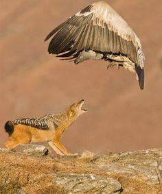Lo Sciacallo e l'avvoltoio  Fotografia di Stephen Earle    Fotografando di nascosto sulla catena dei Monti dei draghi (Drakensberg) in Sud Africa, ho catturato questo istante di interazione fra un avvoltoio e un pericoloso capo-sciacallo.