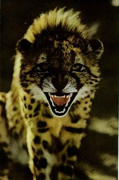 Young cheetah in Southwest Africa National Geographic | February 1972