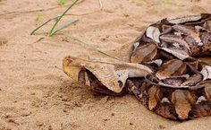 What you didn't know about Gaboon adders at iSimangaliso Wetland Park.