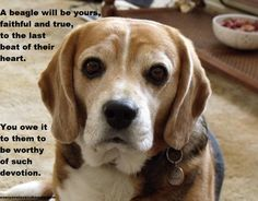 Are you worthy of owning a Beagle...?