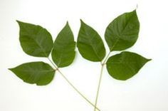 Poison Ivy? recognize it and treat it. Good information that 85% of population can appreciate....