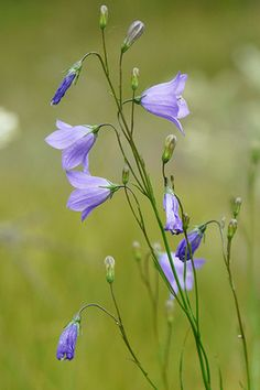 Harebell (Campanula rotundifolia), in Finland we call it 'kissankello' which means cat's bell! My favorite wildflower <3