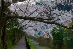 Coming from the Philosophers path (哲学の道) and heading towards Shinnyo-do temple (真正極楽寺) you come along this scenic small pathway next to a tiny little canal dotted with overhanging cherry trees.