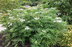 Sambucus ebulus = kruidvlier of hadik, word .60- 1.50 hoog, bloeit wit in juli –aug. Blad, vrucht en zaden zijn giftig.