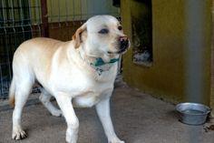 happy Labrador Retriever, Happy, Dogs, Animals, Labrador Retrievers, Animales, Animaux, Pet Dogs, Ser Feliz