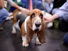 .oh my beagle bassett hound dog