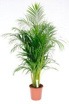 Palme Areca Chrysalidocarpus (Lutescens - BetelPalmen) kaufen? - 123zi