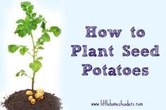 Planting Potatoes in Your Garden - Five Little Homesteaders