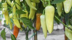 Die Anzucht von Peperoni-Pflanzen ist auch für ungeübte Gärtner einfach (Quelle: Thinkstock by Getty-Images)
