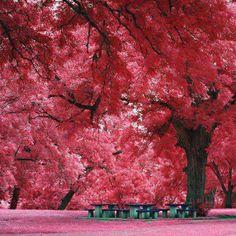Austin, Texas, maple trees