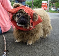 ewok pug...izzy biscuits has the pig pug costume down!