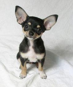 Chihuahua :)