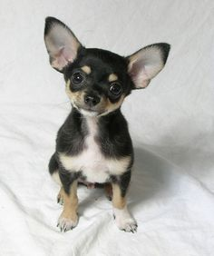 Chihuahua |Pinned from PinTo for iPad|