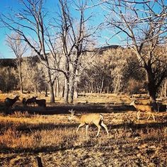 Deer in the Brazos {NM USA}