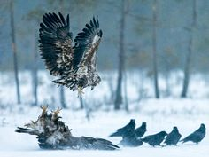 White-tailed Sea-eagle & Golden eagle | Conny Lundström - Vildmarksfotograf