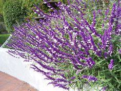 The 2 Minute Gardener is a great blog for garden ideas with over 600 photos and gardening tips.  Here is Mexican Bush Sage (Salvia leucantha), a great hummingbird plant.