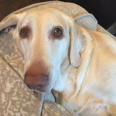 11/02/15-Meet Lil, a Petfinder adoptable Labrador Retriever Dog | White Plains, NY | Lil is truly one of them most wonderful dogs you will ever have the opportunity of meeting. Don't...