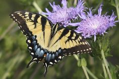 Female Tiger Swallowtail Butterfly