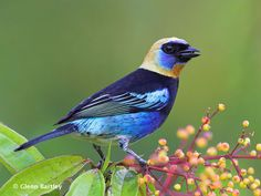 All About Birds : Golden-hooded Tanager