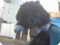 Scottsdale, AZ - Shih Tzu Mix. Meet SUKI a Dog for Adoption.