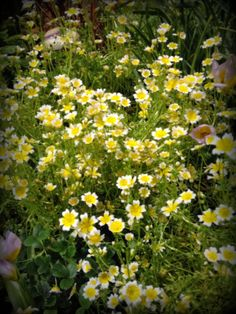 Limnanthes douglasii, or Meadow Foam