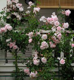 Best climber. New Dawn has been a favorite climber for years. It seems to be outstanding in nearly every way a rose can be judged — it has vigorous growth and plentiful pink flowers that fade to blush; its disease resistant and a repeat bloomer. It grows from 15 to 20 feet tall, will tolerate a bit of shade and grows well in USDA zones 5 to 9