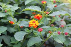 Mosquito free!  A Blooming, Beautiful Way to Fight Off Mosquitoes; Lantana is a natural way to fight off mosquitos.  The even better thing is, the plant on it's own produces oils and it doesn't have to be crushed or rubbed on, just near by or near windows/doors(though applying crushed to the skin works well too!)