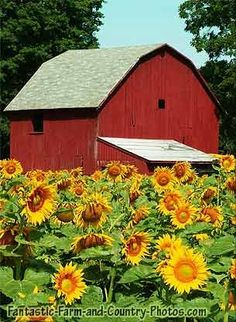 An old-fashioned barn in Michigan is surrounded by a field of beautiful golden sunflowers.  ©Lori Sparkia/Shutterstock