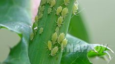 This page contains homemade aphid spray recipes. Aphids thrive in temperate regions and feast on plants. They are one of the most pesky and destructive pests that gardeners have to deal with. Slugs In Garden, Garden Pests, Garden Insects, Insecticide Bio, Aphids On Plants, Plant Pests, Organic Gardening, Gardening Tips, Get Rid Of Aphids