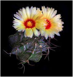 CAC03 | Astrophytum capricorne | Richard Reynolds | Flickr