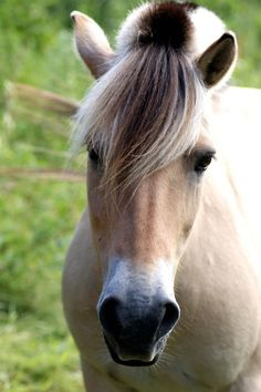 With a burning passion., thepaintedbench: Norwegian Fjord Horse