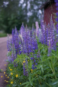 Lupine flowers are an essential part of the Finnish summer scenery