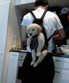 Lab puppy in a baby carrier