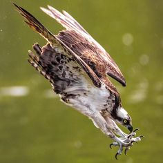 Osprey on the Hunt ~ Photo: Kurt Wecker/Audubon Photography Awards Pretty Birds, Beautiful Birds, Animals Beautiful, Wildlife Photography, Animal Photography, Photography Awards, Photo Animaliere, Audubon Birds, Audubon Society