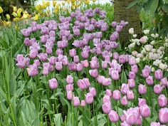 purple passion tulips! ~ psychic medium dallas