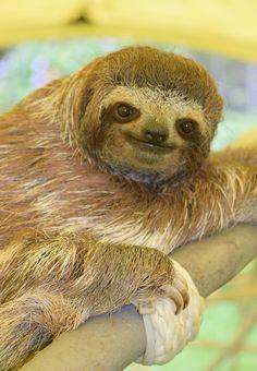 Sloth Sanctuary 7_Tiny Bradyp climb_141015