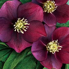 Red Racer Hellebore--Hellebore (or Lenten Roses) is a gardener's dream plant! Shade loving, carefree and easy to grow (even in clay!), pest and disease free, deer resistant, heat and drought tolerant, it bloom for over 4 months – late winter into spring!
