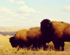 I miss seeing buffalo back home that aren't raised on a farm! So majestic! Tourists, please don't see it necessary to place your child on the back of one and come within feet of them, they are dangerous lol yes its happened, there are people in this world that stupid.