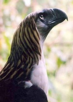 The Great Philippine Eagle - One of the Largest and Most Powerful Birds in the World.: