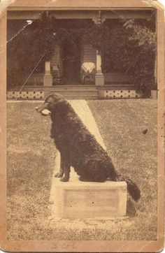 Curly Coated Retriever c. 1890 Cabinet Card