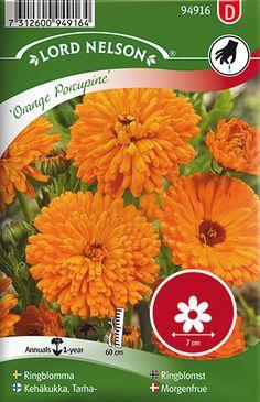 Kehäkukka, Tarha-, Orange Porcupine