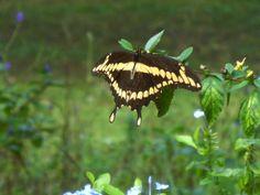 """""""Lighting Up The Garden"""" - Giant Swallowtail Butterfly - Steve Hoffacker - http://stevehoffacker.com"""