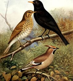 John Robson and Sidney Herbert Lewer - Canaries, hybrids, and British birds in cage and aviary - 1926 - via Internet Archive Watercolor Bird, Watercolor Paintings, Mistle Thrush, Song Thrush, Bird Drawings, Flora And Fauna, Beautiful Creatures, Great Artists, Printmaking