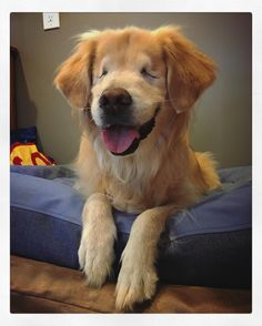 Blind Golden Retriever Smiley Warms Hearts As Therapy Dog - Born blind smiley the golden retriever becomes a loving therapy dog